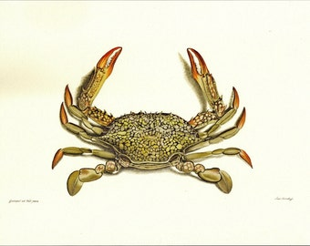 Natural History Print Herbst's Bay of Bengal Crab Illustration to Frame or for Paper Arts and Mixed Media Projects
