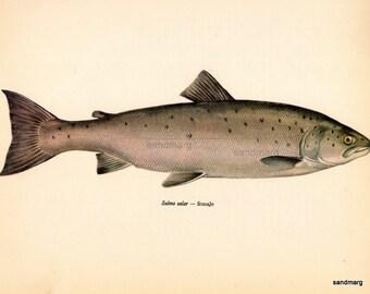 Vintage Female  Salmon  Natural History Fish Print by Jiri Maly