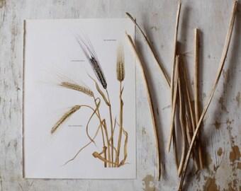 Vintage Book Page  -  Barley - 1965  - Illustrated Botanical