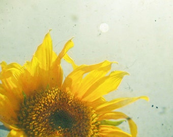Nature Photography, Flower Photo, Sunflower, Golden Yellow and Silver Grey, Shabby Chic Decor, Spring, Floral - Sunburst