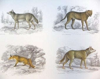Full Color Illustration Plate of Fox, Wolf and Hyaena from William Jardine's Naturalists Library -- Copyright free -- Double side