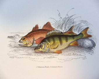 Full Color Illustration Plate of Fish, Perch, Bass, and Shark from William Jardine's Naturalists Library -- Copyright free - Double sided