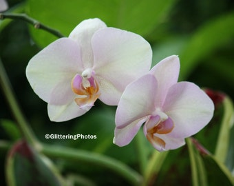 Light Pink. Pale Pink, Orchid, Phipps Conservatory, Pittsburgh, PA, Fine Art, Photography, Print, Glossy, 8 x 10