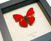 Gift Under 20 Real Framed African Scalloped Red Glider Butterfly Free Shipping 8146