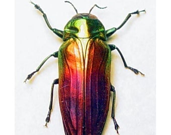 Real Framed Rainbow Beetle Conservation Display Belionota 2214