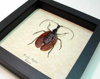 Real Violin Beetle Conservation Quality Shadowbox Display 2182