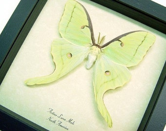 Real Framed Luna Moth Male Actias Luna Free Shipping 1124