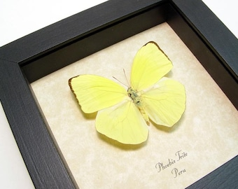 Real Framed Neon Yellow Phoebis Trite Butterfly Shadowbox Display 8009