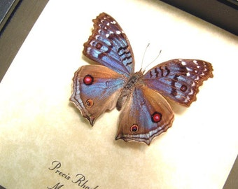Real Framed Royal Blue Pansy Female Butterfly Shadowbox Display 436F