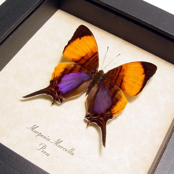 Real Purple Orange Conservation Quality Butterfly Display 300