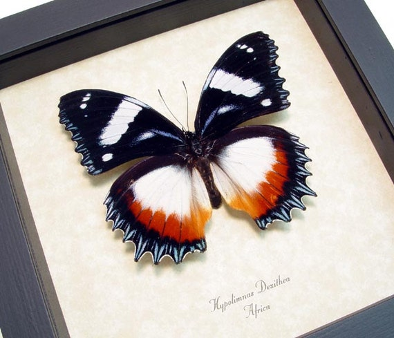 Real African Dexithea Real Framed Butterfly Display  193