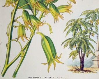 1850 Vintage Botanical Print of the Decaisnea Insignis. By Louis Van Houtte - Chromolithograph