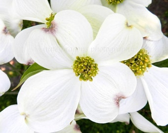 White Flower Photography, Dogwood Flower Art, Garden Print, Nature Photography, White Garden Photography,Spring Flower Print,Floral Wall Art
