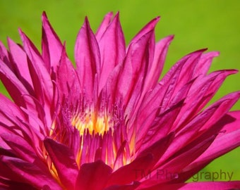 Lily, Pond Lily, Pink Lily, Water Lily, Fine Art Photography, Pine Water Lily, Vivid Colors, Vivid Lily, Vivid Water Lily, Magenta