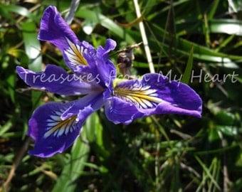 Wild Iris fine art photograph