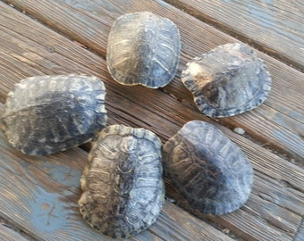 Red Eared Slider Turtle Shell - Upper Half Shells - Stock No. RESUH