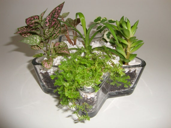 Items Similar To Small Star Glass Garden Indoor Plant