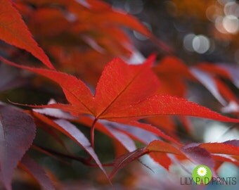 Red Leaves photograph -  Japanese Maple Leaves fine art print - Bokeh, red wall art, summer decor, nature photograph