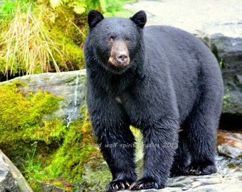 Handsome Black Bear, Alaska, Woodland Cabin Decor Fine Art Photo