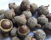 Reserved for Taylor 250 over cap bur burr whole real natural acorns with caps bowl fillers potpourri scatter