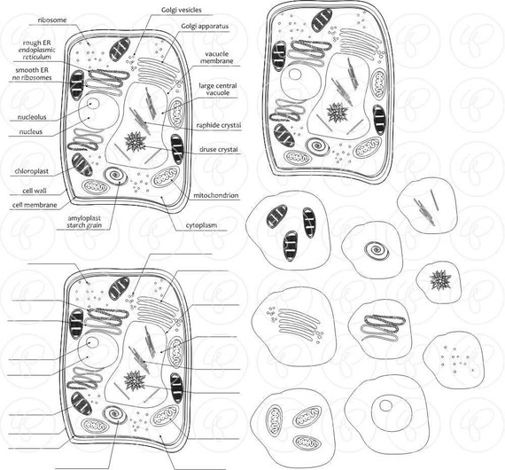 plant cell science diagram clipart set  300 dpi  school