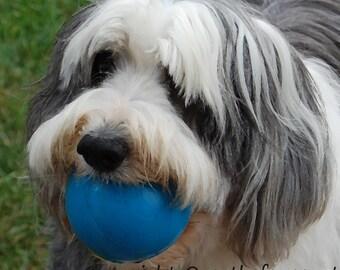 Animal Photography Bearded Collie Card,Fine Art Photograph,Photo Card, Handmade Card, Pet Portrait,
