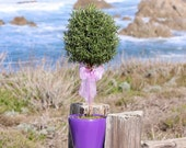 "Live Rosemary 17"" Single Ball Topiary"
