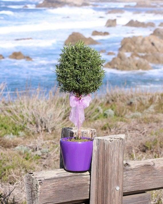 """Live Rosemary 17"""" Single Ball Topiary"""