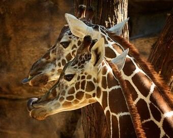 Animal Photography, Giraffes, Africa, Wild, Faces, Tongues, Brown Markings, Nature Art Print , African Safari, Home Decor, Wall Art