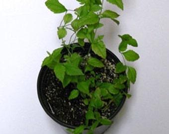 Calea Ternifolia Live Plant