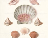 Coastal Decor Sea Shell Collage Print - Natural History French Sea Shell Collection  Giclee Art Print - 8x10