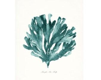 Coastal Decor Pacific Sea Kelp Natural History Giclee Art Print No. 1 - tide pool