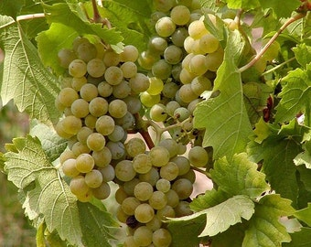 5 Tame White Grape Vine Seeds-1128