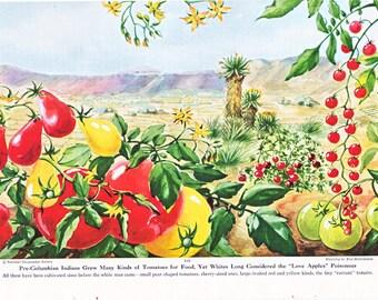vintage illustration of tomatoes, an Else Bostelmann illustration from 1949.