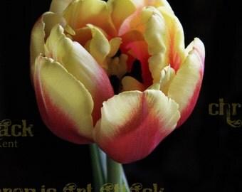 Tulip Mystique Flower Fine Art Photograph