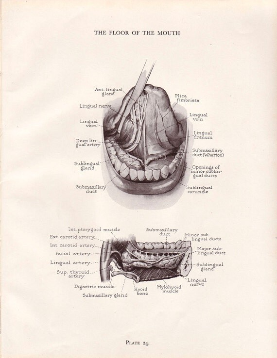 Vintage dental anatomy print human mouth teeth jaw by agedpage for Floor of mouth anatomy