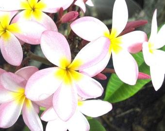 Cotton Candy Plumeria Frangipani Pink & Yellow Flowers live plant cutting/ FAIRY GARDEN