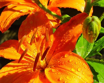 Orange Lily 3 -- Fine Art Floral Photography Print -- Photo, Home Decor, Flowers, Art