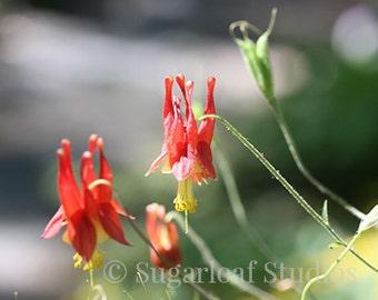 Red Columbine 1 -- Fine Art Floral Photography Print -- Photo, Home Decor, Flowers, Art