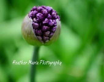 Allium flowers signifies unity, humility and patience, Real Life fine art Photograph 5x7