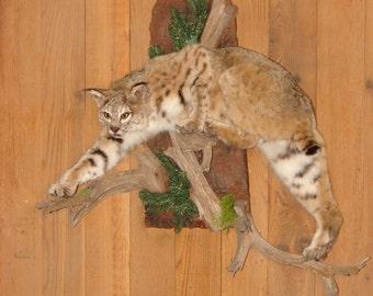 Large Bobcat life size wall mount taxidermy fur pelt animals cats