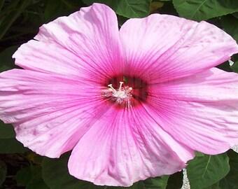 Hibiscus-Pink 5 X 7 Instant Download