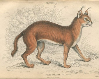 Antique Hand Colored Steel Engraved 1800's Book Plate Print Jardine Natural History Library Vol XVI Mammalia Lions Tigers Caracal Cat