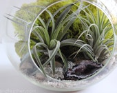 Geode + Pyrite Terrarium Kit with Two Air Plants