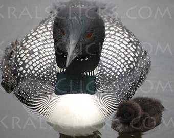 Lake Loon Photography Loons Beautiful Loon with Baby Loon Photograph Black White Red lake home cabin wall art decor Very Detailed Bird Image