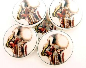 Sewing Buttons.  Handmade Buttons. 5 Human Head Musculature Skull