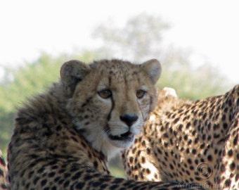 Cheetah Cub Looking Back Photography Digital JPG Download