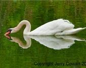 Elegant White Mute Swan Gliding on Rockland Lake New York