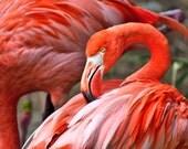 Pink Flamingo Photography, Flamingo Photographs, Pictures of Flamingo's