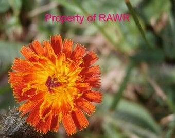 Bright orange wildflower photo